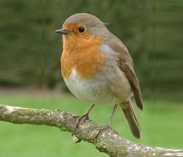Pettirosso - Uccelli che sbattono contro le finestre ...